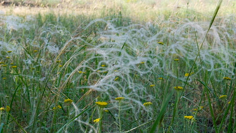 feather grass stalks sway in the wind in the middle of the Ukrainian steppe Acción en vivo