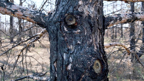 burnt coniferous forest after a fire, trees black with soot. Ukraine Acción en vivo