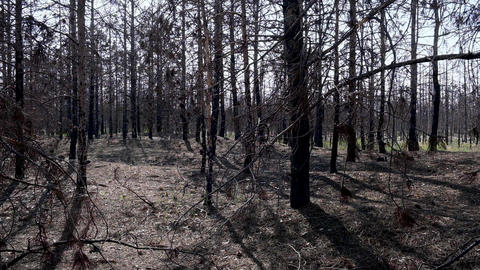 burnt coniferous forest after a fire, trees black with soot Acción en vivo