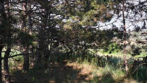 Coniferous forest in summer sunny day, Ukraine Archivo