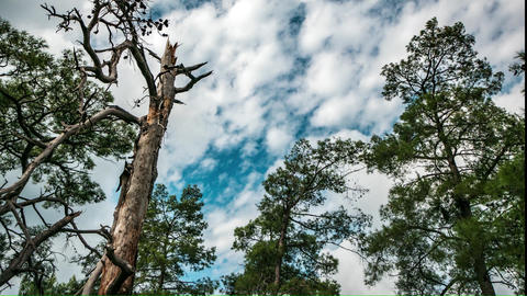 Cloudy Sky Over the Broken Tree. 4K, Time-Lapse. Panorama Live Action