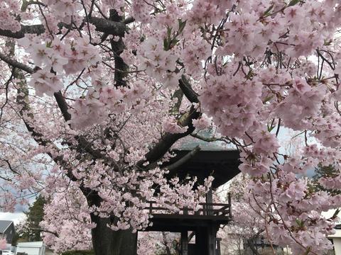 長野県原村 深叢寺の桜 フォト