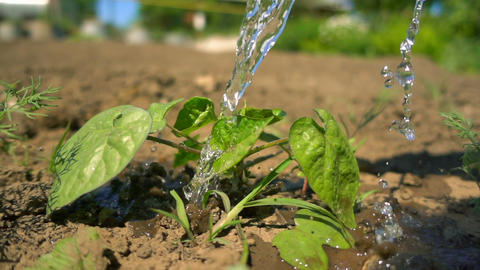 Close-up watering a green plant growing on the farm. Water drops fall on green Footage