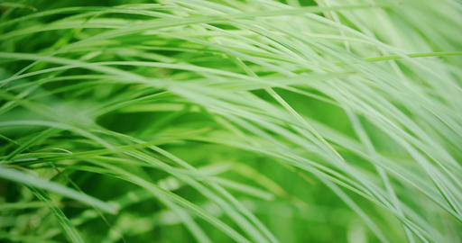 Waving blades of green grass. Macro, slow motion shot on Red camera Live Action