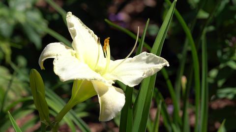 Day lily, Hemerocallis Footage