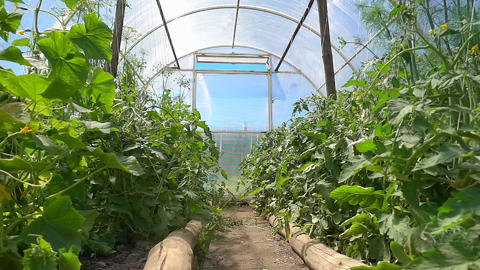 Seedling of organic cucumbers and tomatoes growing in a greenhouse on the farm Footage