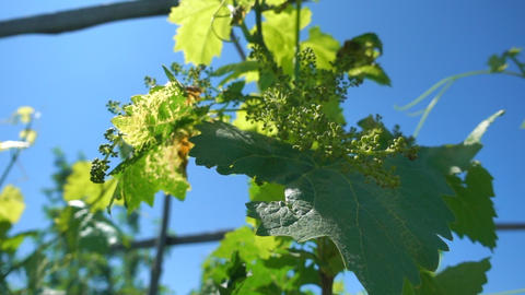 Green grapevine in sunlight against blue sky, Slow motion. Vine with small grape Footage