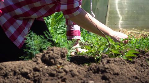 A farmer cultivates a growing raspberry Bush. Farm work in Sunny weather Footage