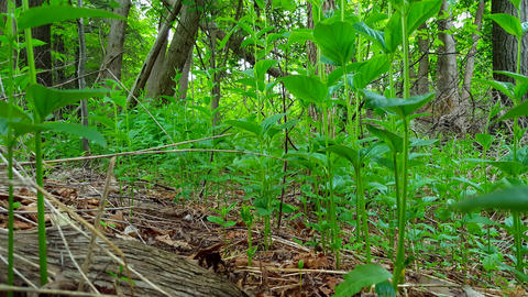Viewpoint of Green Forest Floor and Plants. Up-Close Lush Greenery Under Woodland Canopy Footage
