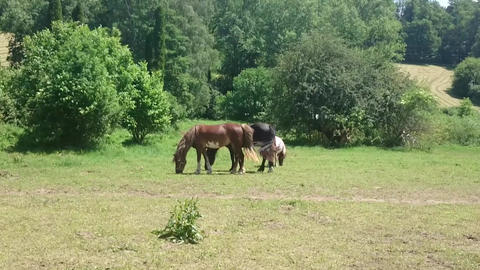 Three horses grazing sappy grass in green lawn at a birch forest in spring Footage