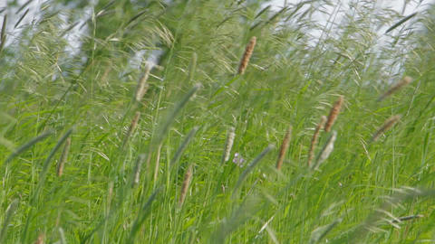 Meadow grass in the wind Footage