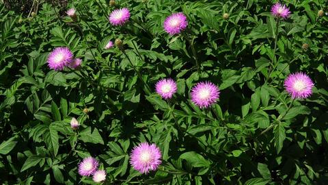 Garden Flowers On The Wind At Sonyachnu Weather Footage