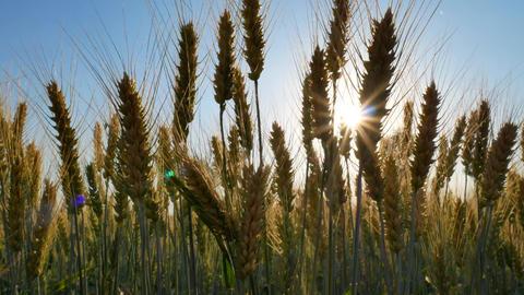 Field of rye. Rural Scenery under Shining Sunlight Footage