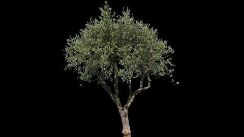 Olive Isolated Tree Footage
