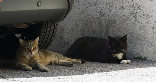 Two Street Cat Lying Under The Car Live Action