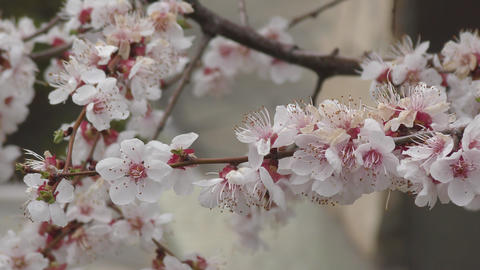 Apricot blossom in the garden Live Action