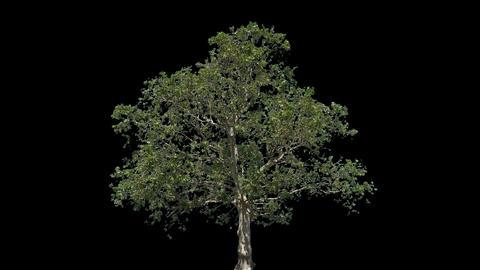 Platanus Isolated Tree Footage