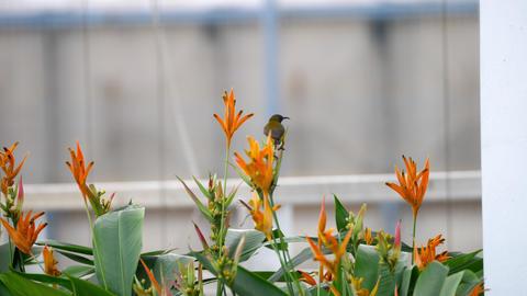 Purple Sunbird on the bird paradise flower Footage