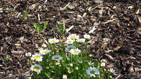 (Leucanthemum vulgare) white daisy in the garden Footage
