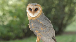 Barn owl. Tyto alba. Bird of prey Live Action