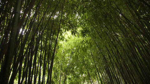 Succulent green bamboo stalks extend upward and cover the sky Footage