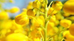 Blooming canola field. Rape on the field in summer Archivo