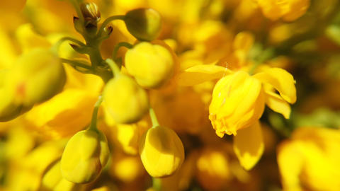 Close up of colored flowers of canola. Blooming yellow rapeseed flower Live Action