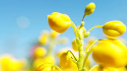 Close up of colored flowers of canola. Blooming yellow rapeseed flower Footage