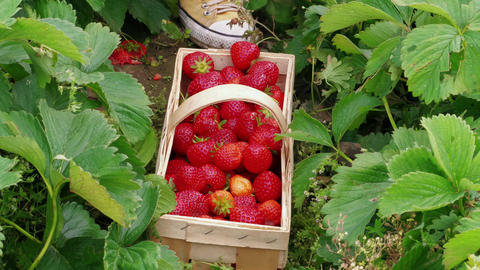 Person hand put down red strawberries to basket in garden Footage