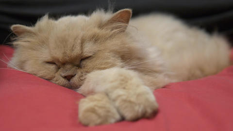 Motion of sleepy persian cat on bed with 4k resolution Footage