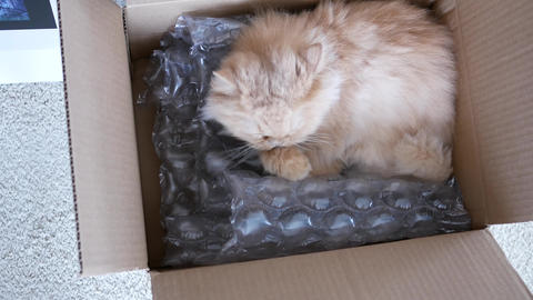 Top shot of persian cat cleaning her paw inside box with 4k resolution Live Action