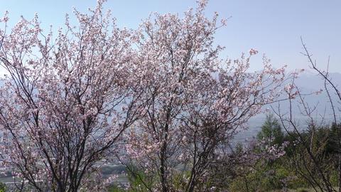 片丘桜 (カタオカザクラ) ライブ動画