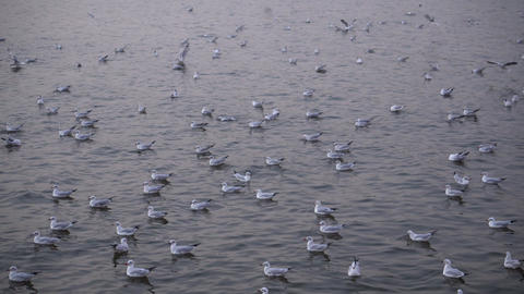 Multiply of seagulls at harbour. Evening Live Action