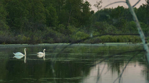 Wild swans on a quiet water surface of a forest lake Live Action