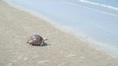 Tortoise at the beach. Try walking to the sea. nice beach. nice blue crystal sea Live Action
