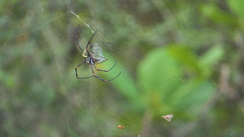 Golden silk orb-weaver stay at her web. then lift her legs. little spider crawling nearby Footage