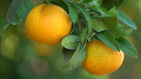 Closeup of juicy tasty oranges hanging on an orange tree. Female hand plucks Footage