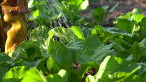 Gardener watering vegetable in vegetable garden. Slow Motion Live Action