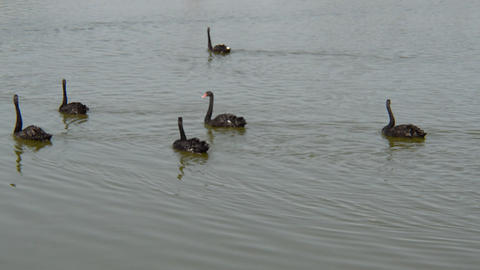 Black swans swim in the water on the lake Live Action