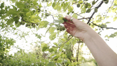 Female gardener hand checks the affected leaves of the apricot tree with holes Live Action