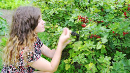 Young woman picking harvesting red black currants from bush in garden Footage