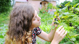 Young woman picking eating harvesting black currants from bush in garden Footage