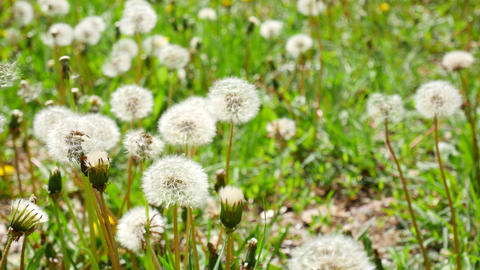 White fluffy dandelions, natural green spring background Footage