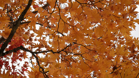 Orange maple leaves tree blowing in the wind, autumn season Footage