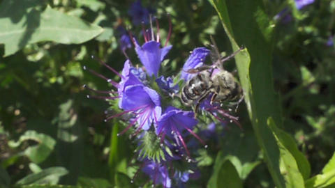 Bee flies away from the flower. Slow Motion Footage