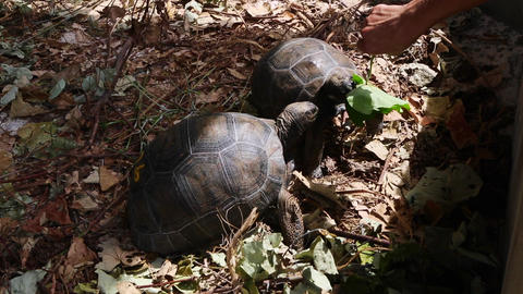 Two 4 years old giant tortoises at Curieuse Island breeding station, Seychelles Live Action