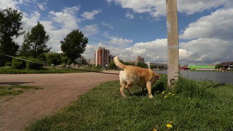 Playful dog labrador sniffing the camera lens. 4K Footage