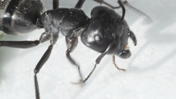 ant cleans paws and whiskers, ultra close-up Footage