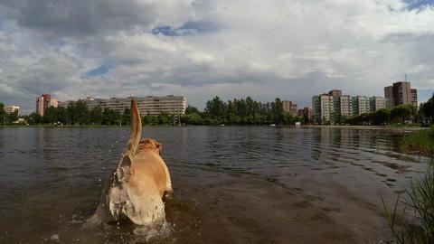 Playful dog labrador bathing and splashing in the lake. 4K Footage