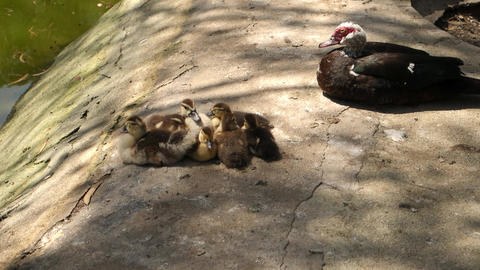 Ducklings at rest Archivo